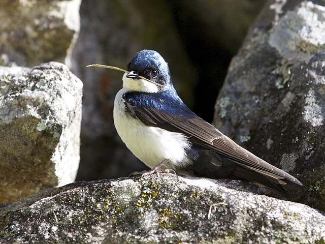 Golondrina azul y blanca