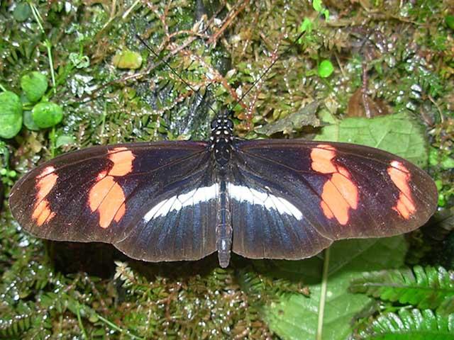 Mariposa Heliconius telesiphe telesiphe