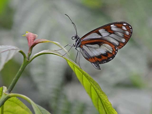 Mariposa Ithomiiine