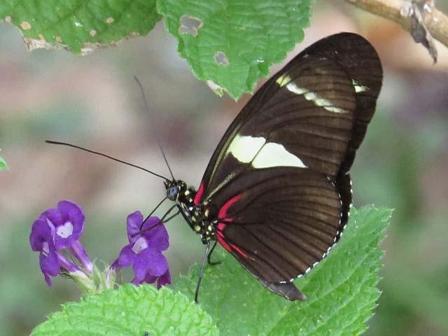 Mariposa Heliconius wallacei