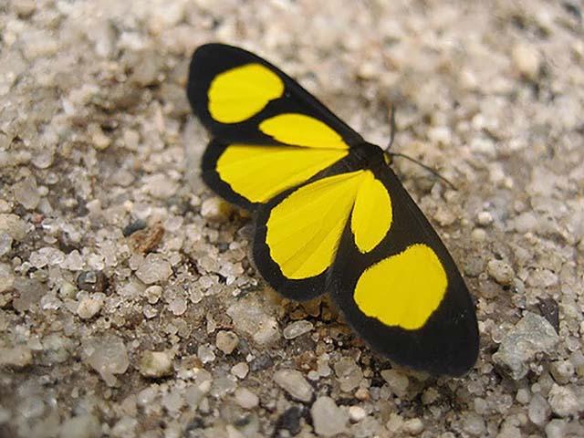 Mariposa Atyriodes figulatum
