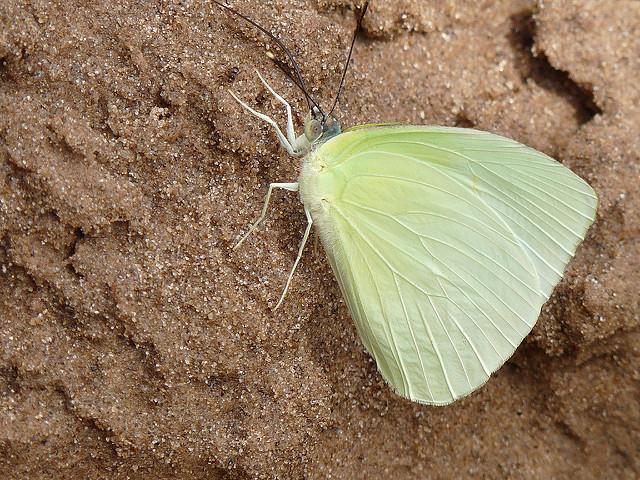 Mariposa Hesperocharis nereina