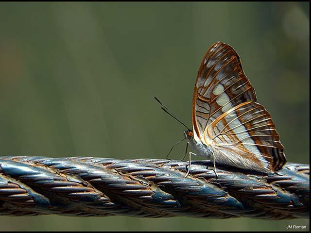 Mariposa: Dama del camino