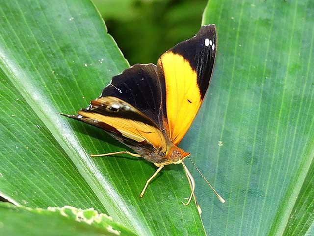 Mariposa Epiphile lampethusa