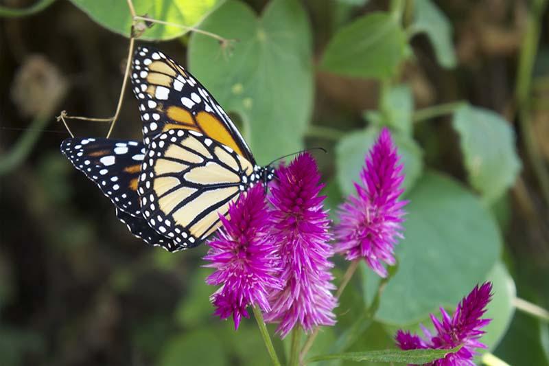Butterflies Machu Picchu