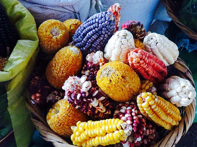 Maices multicolores cultivados en Valle sagrado de los Incas