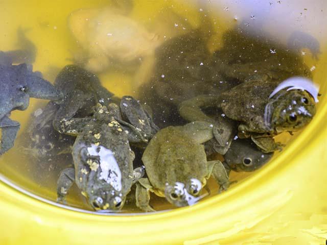 Una especialidad del mercado, extracto de ranas