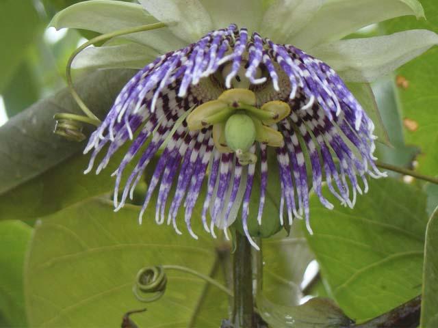 Orquídea nativa