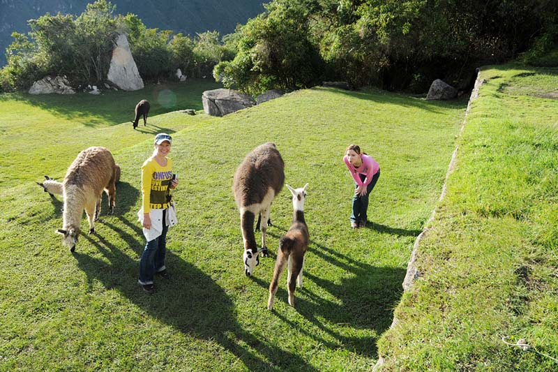 Tourists playing with llamas