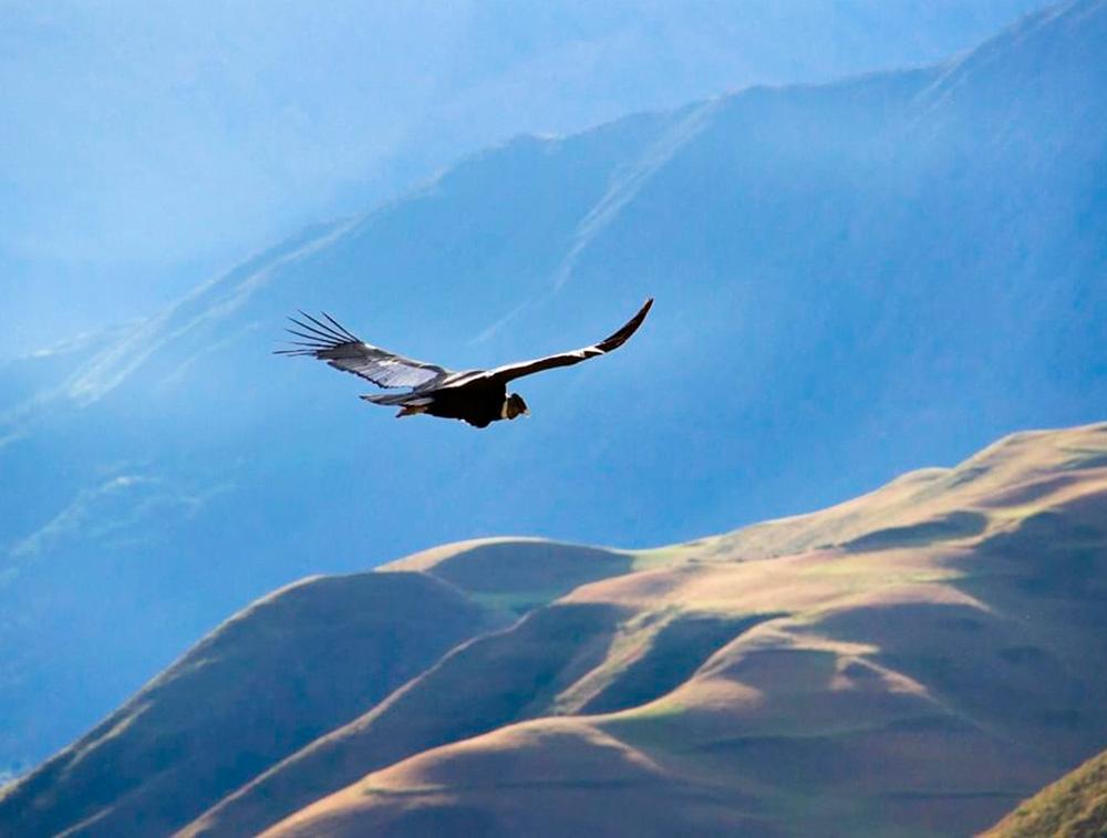 Vuelo de los Condores - Chonta